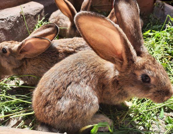 Vind iepuri uriaș german