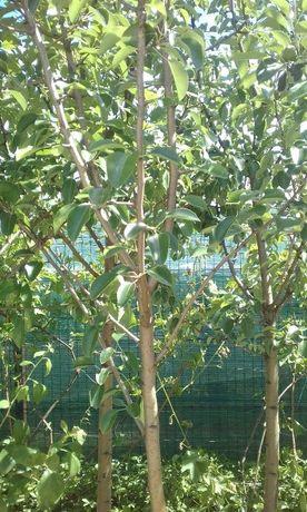 Pomi fructiferi mari 4-7 Ani la container