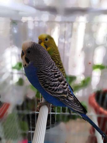 Papagali și Hamsteri