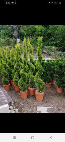 Vând o gama foarte mare de plante ornamentale prețuri accesibile