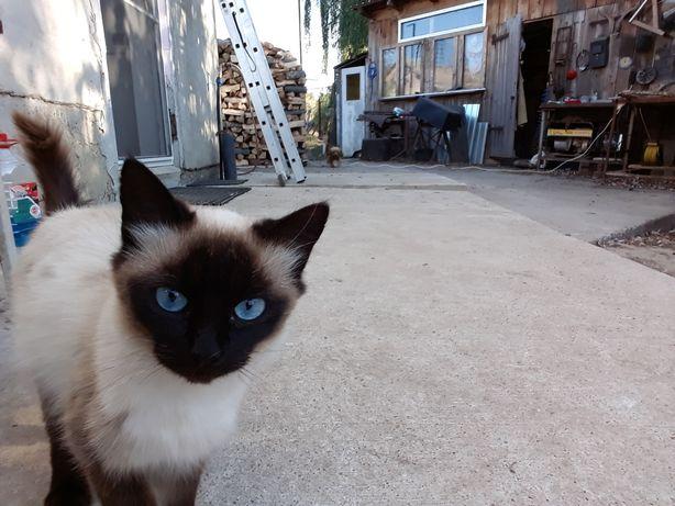 Pisica birmaneza si siameza