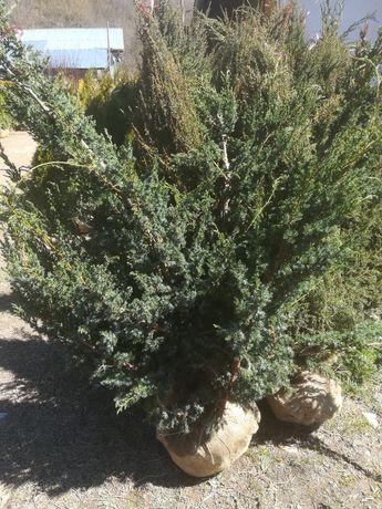 Plante ornamentale. Livram in toată țara