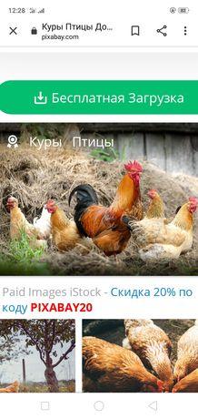 Продам петуха с курицами(домашные)