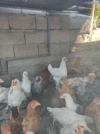 Цыплята 5 месячные