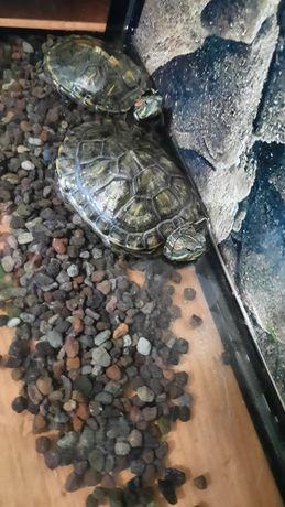 продаю черепах с аквариумом, фильтром и кормом