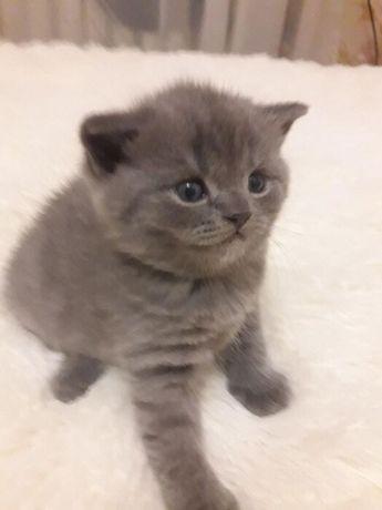 Шотландские котята голубого окраса