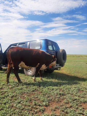 Продам белоголового быка