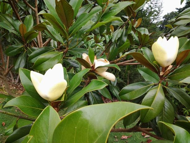 Magnolia Grandiflora vesnic verde