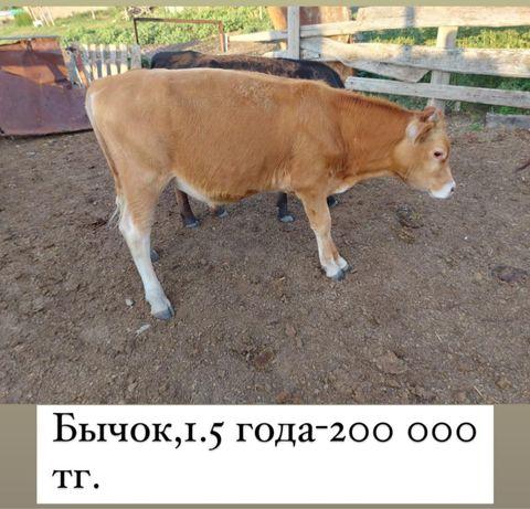 Продаются бычки, коровы