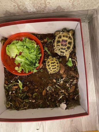 Продаю черепаху  сухопутную