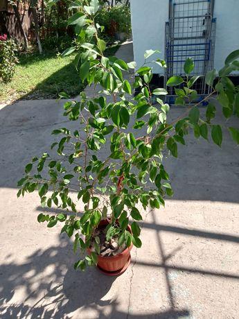 Дерево в горшке (Фикус Бенджамина)