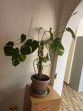 комнатное растение «монстера»