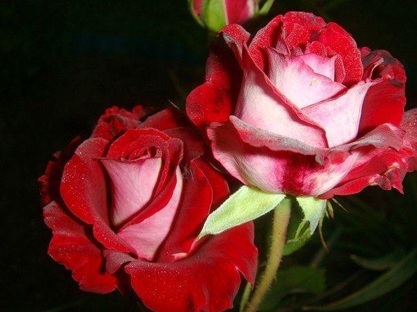 Саженцы роз из грунта