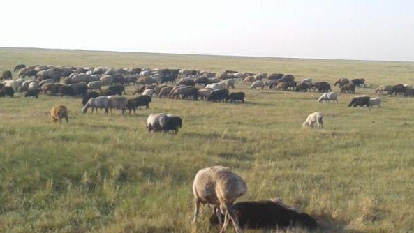 Кой Бараны  овцы 300 гол
