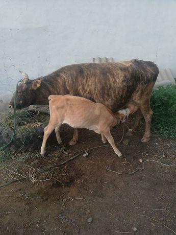 Срочно Продам Корову с теленком