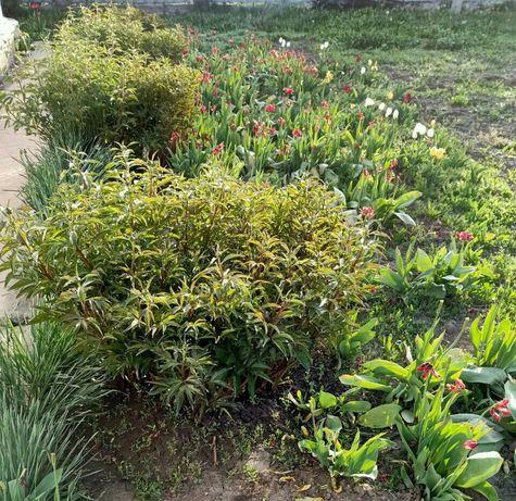 Большие огромные Кусты Пионов или Корнями (делёнками) цветов пиона .