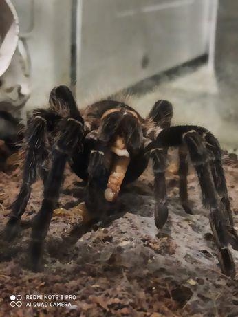 Крупный паук птицеед
