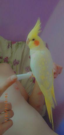 Продам карелла попугая с клеткой ,есть корм 2 пачки