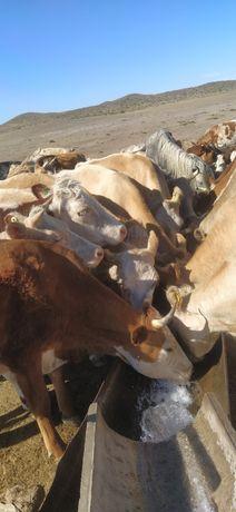 Продам коров с телятами!!!