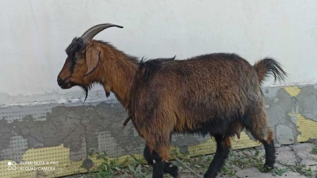 Альпийская порода козы