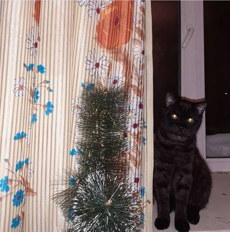 Котёнок, полубританец