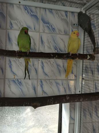 Vând papagali micul Alexander Crescuți la mana
