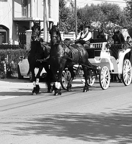 Inchiriez trasura (caleasca),cai pentru evenimente