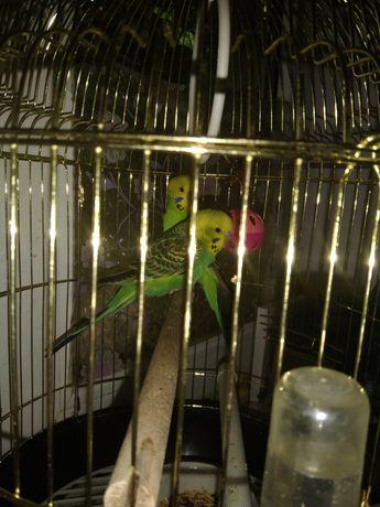 Птички ручные волнистики