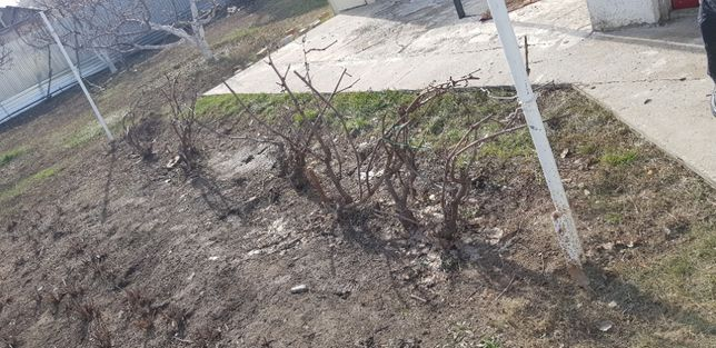 "Продаю виноград сорт ""Агат"""