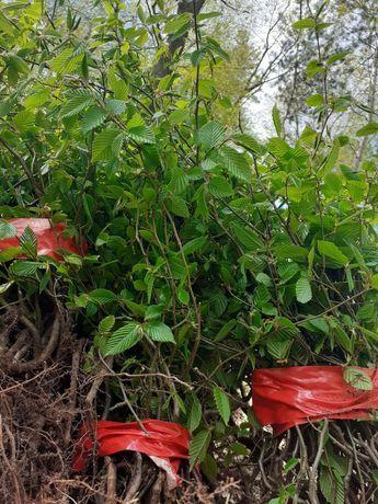 Vand puiet de carpen pentru plantare pentru detali la tel