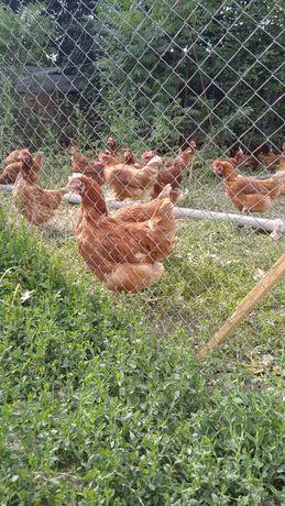 Куры несушки, курицы, курица, тауык