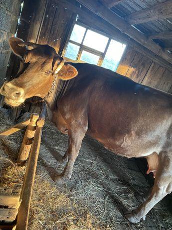 Дойная, стельная корова!
