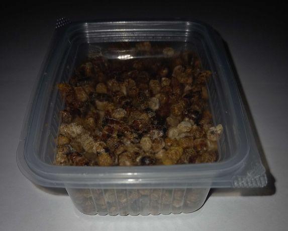 Перга (аралар наны, пчелиный хлеб)