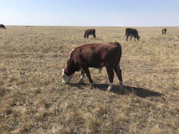 Продам потсосных бычков и телок