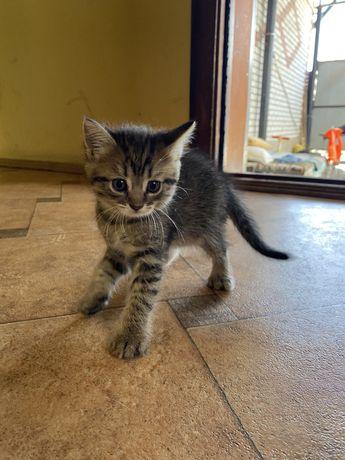 вислоухие котята(нечистокровные)