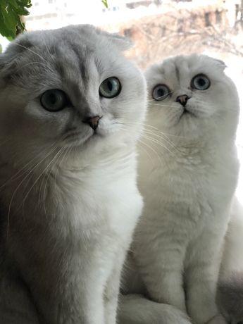 Котики и кошечка шиншилловые!Возраст 1,5 мес!
