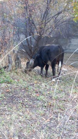 Найдены 3 быка в Карасайском районе!