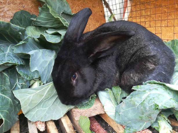 Кроликов и крола продам