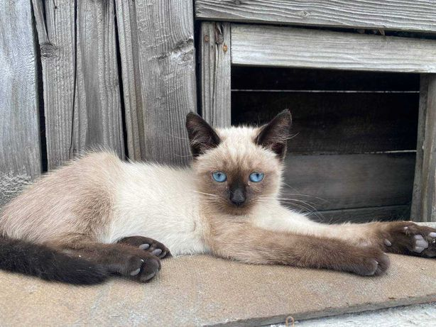 Котенок сиамский