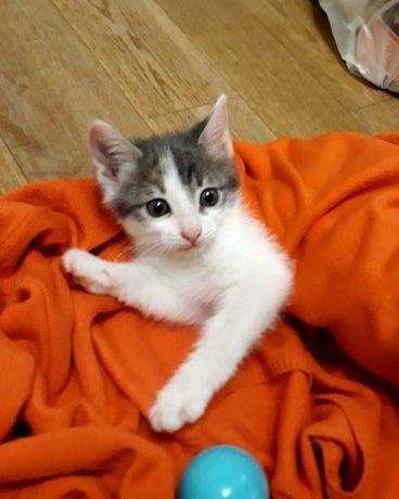 Отдам заботливым хозяевам котёнка 2 месяца, чудесная игривая малышка