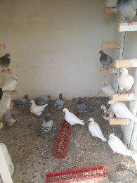 Porumbei texani de consum