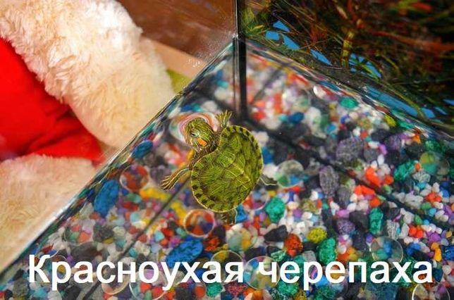 """Красноухая черепаха в зоомагазине """"ЖИВОЙ МИР"""""""