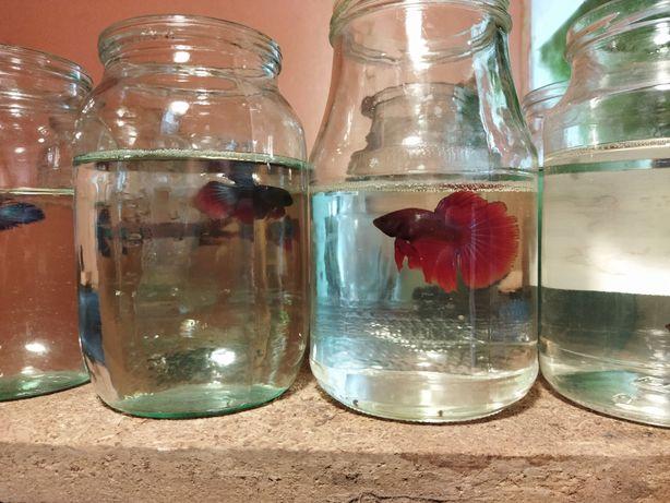 Рыбки Петушки Супердельта