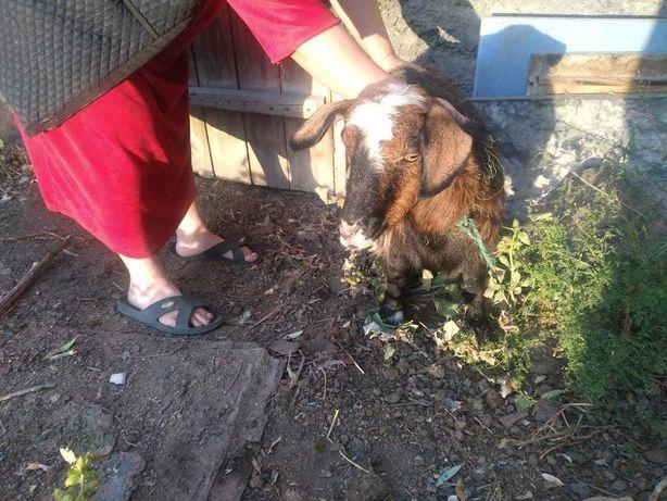 козу продам домашнюю безрогую