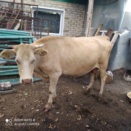 Продам корову 3отела