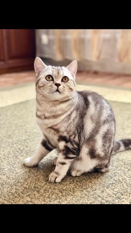 Молодой,опытный шотландский прямоухий кот (скоттиш страйт) для вязки