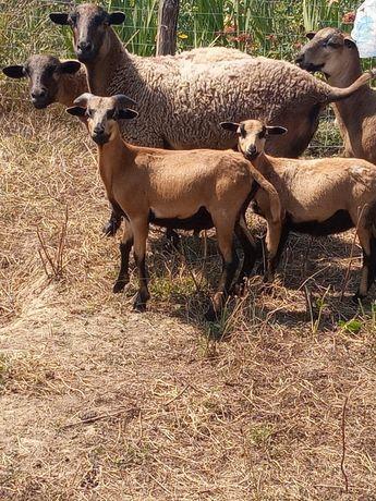 Vând  doua oi de camerun