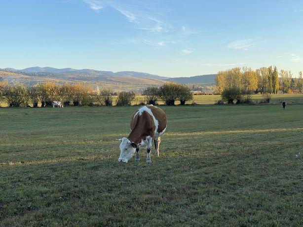 Vaci si vitei se vanzare