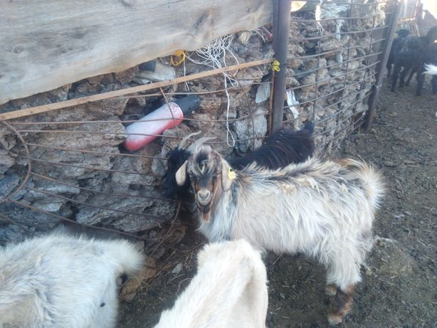 продаётся коза с козленком