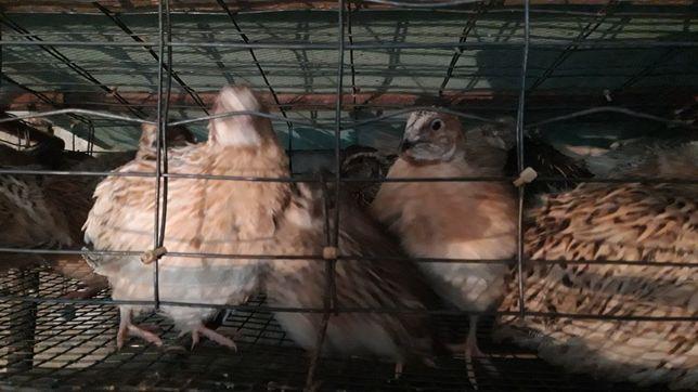 Prepelițe japoneze .ouă de prepeliță de consum și incubat